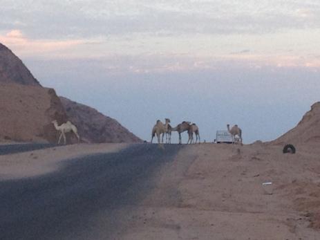 Camels Dahab